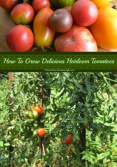 5 great tips to help you grow delicious heirloom tomatoes.