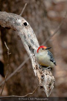 Red-bellied Woodpecker - #birds #wildlife #nature