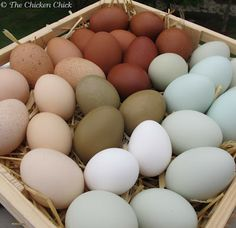 Chicken eggshell colors explained Blue, brown, green, white eggs