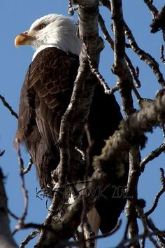 Bald Eagle in the Branches - Haines, AK