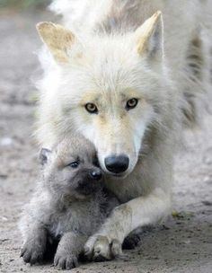 Wolf and cub
