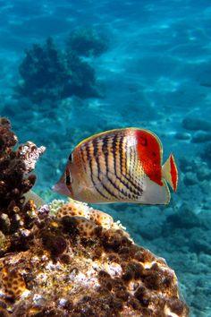 Crown Butterflyfish