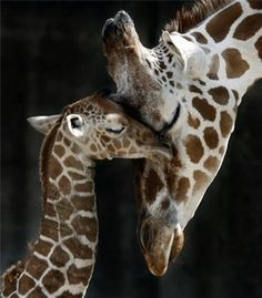 Mother and Baby Giraffe