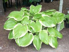 Hosta Parhelion - X Large Giant Hostas - Chartreuse w/ white margin
