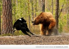 This is an Akita doing what it's meant to... the bear might be a little bigger than the norm...