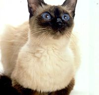 The Balinese Cat's Personality