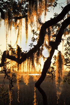 Sunset and Spanish Moss in the South