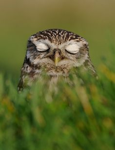 {a resting Little Owl named Willow}