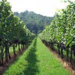 wines, vineyard, wine lover, thing wine, green vine, virginia wineri, place, wine vines, loversof wine