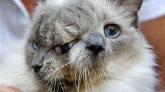 romans, animals, ragdoll cats, guinness, god, 12 year, world records, siamese, face cat