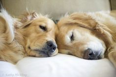 sleeping beauty, sleepy time, anim, friends, old dogs, golden retrievers, snuggl, puppi, dog mom
