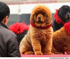 Hong Dong, a red Tibetan Mastiff sold to a Chinese coal baron for $1.5 million. Apparently this breed is considered to be both holy and a status symbol. #Dog #Tibetan_Mastiff #dog #mastiff #animal