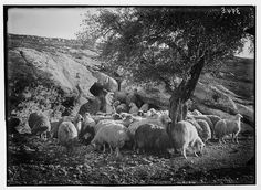 A natural sheep-cote among the rocks and beneath an olive tree, from Library of Congress from http://lcweb2.loc.gov/service/pnp/matpc/02900/02985v.jpg#