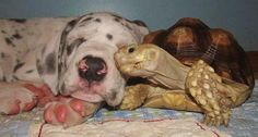 "Redditor catsnmouses treats us to a visit to the Department of Unexpected Interspecies Friendship with this awesomely cute and cuddly pair. ""That's Guppy and Crouton from Rocky Ridge Refuge! Guppy is a great dane puppy and Crouton is a tortoise that is literally friends with every animal they rescue."
