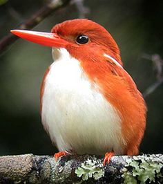 Madagascar Pygmy Kingfisher- he's so cute!