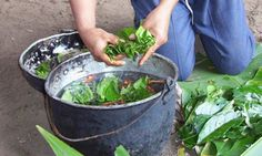 Ayahuasca and cancer treatment  More powerful plants