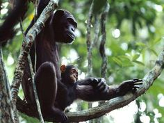 Chimpanzee mother with baby