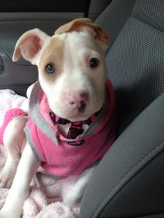 Little pittie.... ~ She is so cute. Now, how could anyone hate/dislike a pit bull. <3