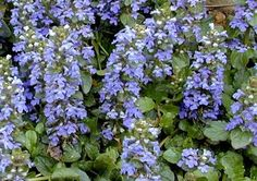Carpet Bugle - This low growing 4-6 inch tall ground cover spreads rapidly, forming attractive mats of dark green foliage. 6 inch spikes of blue flowers cover the plants in spring and early summer and are spectacular in mass plantings. A terrific choice for banks, under trees, next to foundations, or in containers. Needs moist soil and full sun, or part to light shade. Winter hardy to zone 3.
