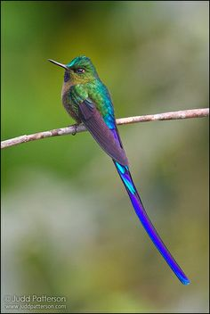 Violet-tailed Sylph    A magic hummingbird of Ecuador. Took me a long while to get one on a good perch long enough to capture its beautiful tail! << words of the photographer, not me.