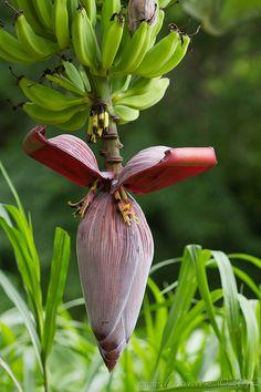 Banana Flower Costa Rica