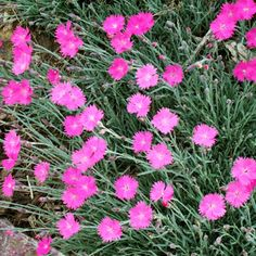 Name: Dianthus 'Fire Witch' (also called 'Feuerhexe')