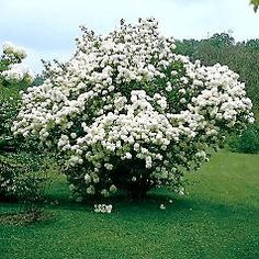 Korean Spice Viburnum.  This shrub will also do well in part shade.