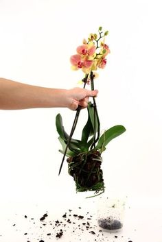 Orchid Repotting Questions