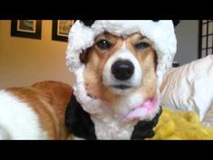 Corgis. Wearing panda outfits. Pissed. #corgi