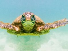Green Sea Turtle Photographic Print by Mark A. Johnson at Art.com