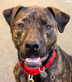 Finley is our Pet of the Week! She's a beautiful 2 year-old brindle Pit Bull mix.  She loves people and playtime most of all! If you're looking for an active dog who'd love to be your exercise buddy, Finley's your girl! Learn more about here here: https://www.aspca.org/blog/aspca-pet-week-finley