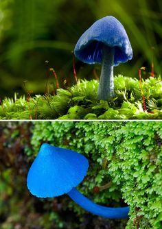 Sky Blue mushroom (Entoloma hochstetteri) - Found in India and New Zealand