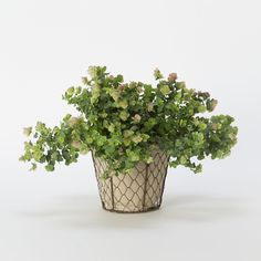 Flowering Oregano in Valentine's + Gifts Valentine's Day Living Gifts at Terrain