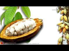 Propiedades del Cacao, beneficios. Características de la planta. Nombre científico, origen, contenido y principios activos del Cacao. Fruto de cacao, hojas de cacao. http://www.plantas-medicinal-farmacognosia.com/productos-naturales/cacao/