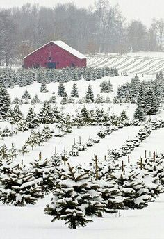 Christmas tree farm. love!