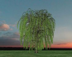 Weeping willow - Bing Images