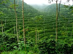 Coffee plantation in Guatemala | UtopianCoffee.com