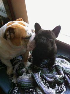 English and French Bulldog Kisses.