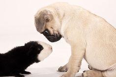 . . .what the . . . .Pug & Guinea Pig