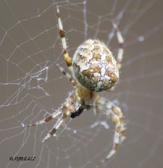 Species: female Araneus diadematus - the Garden Cross spider Credit: Kim Ball
