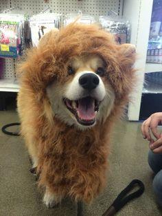 RRRRRRR....I am the lion king....or shihtzu...or chowchow....or corgion!!