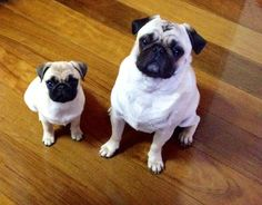 A pug and his mini-me (pugdexter)