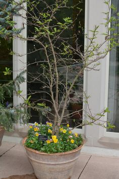 Outside of Thornhill Education Center is this container garden featuring a Loebner's Magnolia tree.
