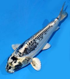 Koi fish on pinterest koi koi ponds and ebay for Ghost koi carp