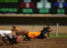 Duke, owned by Mike Wrona, runs during the Championship heat of a dog race, September 1, 2014, at Canterbury Park, in Shakopee, Minn. (Photo by Jeff Wheeler/AP Photo/The Star Tribune)