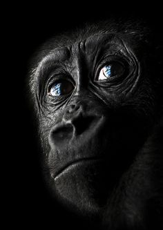animal kingdom, ape, young gorilla, creatur, nature photography