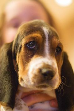 Bassett hound dogs