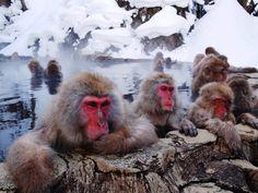 Relaxed Japanese Snow Monkeys