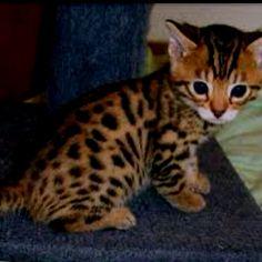 Bengal Kitty.