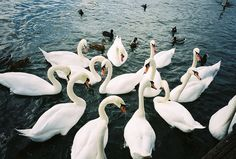 ~ swans